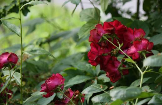 hidden roses